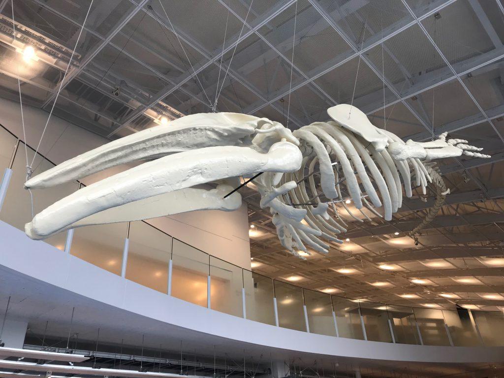 アキシマクジラ